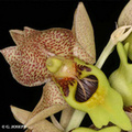 Catasetum sp