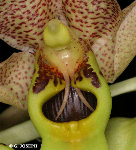 Catasetum_sp4.jpg