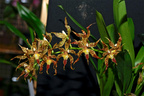 Oncidium crocidipterum