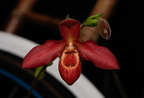 Phragmipedium Jason Fisher