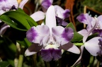 Cattleya Cariad's MiniQuinee 'Angel Kiss'
