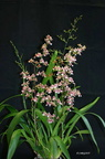 Oncidium Profusion