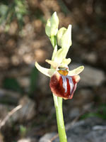 Ophrys gortynia