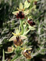 Ophrys mammosa